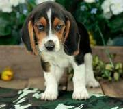 playful beagle puppies for sale