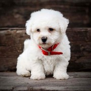 Best of all time bichon frise Puppies for Adoption